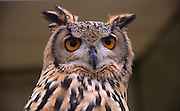 Face and eyes of Eurasian or European eagle owl Bubo bubo close up