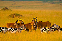 Eland surrounded by a herd of zebra, Masai Mara National Reserve, Kenya