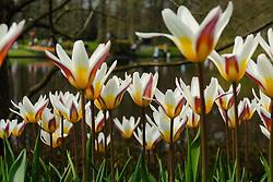 White Tulip, Tulipa, witte tulp, tulpen, Holland, Netherlands
