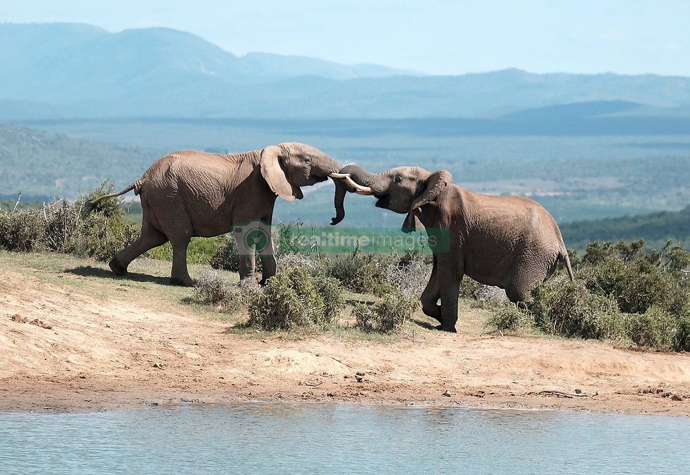 PORT ELIZABETH. 23.3.16. Two elephant bulls tussle at a water hole at the Addo Elephant National Park.  The Park, proclaimed in 1931 when only 11 elephants remained is now the third largest national park in South Africa with a finely-tuned ecosystem that is sanctuary to over 600 elephant, lion, buffalo, black rhino, spotted hyena, leopard, kudu and a variety of antelope and zebra species, as well as the unique Addo flightless dung beetle. Picture: Ian Landsberg/African News Agency(ANA)