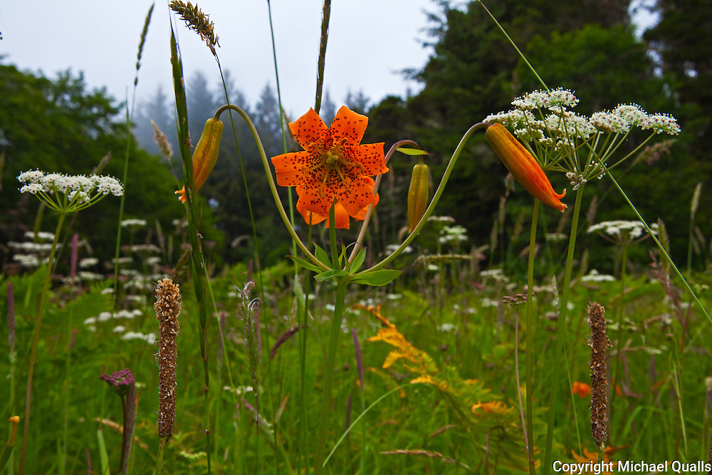 Lilies in a Patricks Point meadow.  In redwood country.  California.  USA.