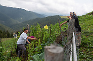 Muazzez Kocek, 49 (right) gathering vegetables outsider her home in Alaca Yaylası, in the Pontic Mountains, northern Turkey.