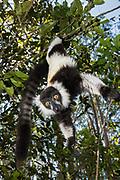 Black and white ruffed lemur (Varecia variegata)<br /> East Madagascar<br /> Mantadia National Park<br /> MADAGASCAR<br /> ENDEMIC<br /> Critically endangered
