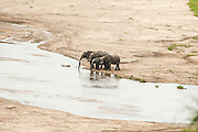 African elephant (Loxodonta africana) At the watering hole. Photographed in Tanzania