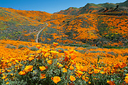 A rainy winter brought an exceptional display of flowers now dubbed 'Super bloom 2019' in Southern California. The California poppies at Lake Elsinore in Walker Canyon are breathtaking.