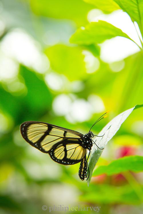Methona themisto Butterfly clearwing (captive)Mashpi Reserve, Ecuador