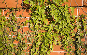 English ivy plant, Hedera helix, and Virgina creeper vines growing spreading over red brick wall, UK
