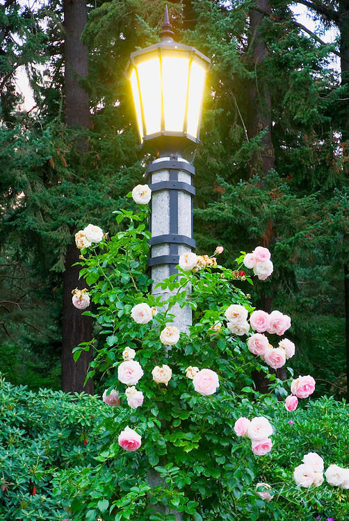 Rose covered lamp at the International Rose Test Garden, Washinigton Park, Portland, Oregon