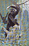 The lar gibbon (Hylobates lar), also known as the white-handed gibbon, is an endangered primate in the gibbon family, Hylobatidae. It is one of the better-known gibbons and is often kept in captivity. from the book '  Animal portraiture ' by Richard Lydekker, and illustrated by Wilhelm Kuhnert, Published in London by Frederick Warne & Co. in 1912