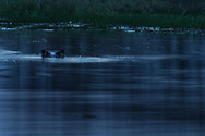 Impressionen aus der Moremi-Kwai-Region am NE-Rand des Okavango-Deltas in Botswana mit Flusspferden (Hippopotamus amphibius)