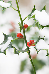 Holly berries in snow. Ilex aquifolium