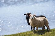 Black and white sheep, side by side, on green grass with blue water background   Sort og hvit sau, side om side, på grønt gress med blått vann som bakgrunn.