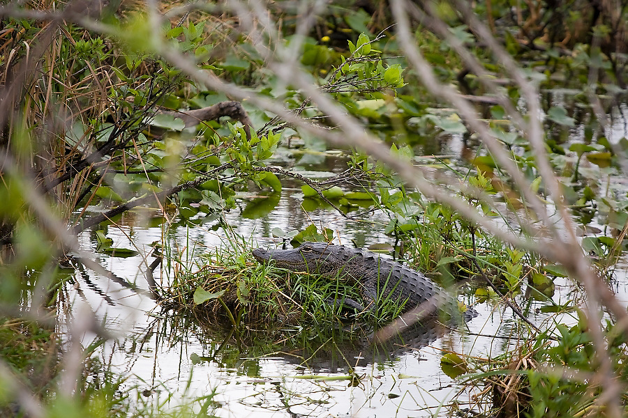 An American alligator (Alligator mississippiensis) rests atop a tiny island in a swamp  along the Anhinga Trail in Everglades National Park, Florida.