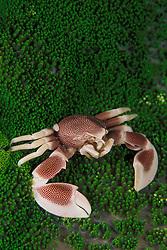 A Porcelain crab, Neopetrolisthes maculatus, perches upon its sea anemone host.  Ko Tachai, Thailand, Andaman Sea, Indian Ocean