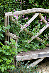 Geranium palmatum growing through wooden bench seat