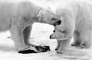 Schweden, SWE, Kolmarden, 2000: Zwei Eisbaeren (Ursus maritimus) neben einem toten Seehund, ein Eisbaer beisst den anderen, Kolmardens Djurpark. | Sweden, SWE, Kolmarden, 2000: Polar bear, Ursus maritimus, two polar bears at a dead seal, one is biting the other, Kolmardens Djurpark. |