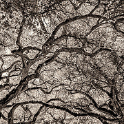 A beautiful tree canopy on the estate of  Matanzas Creek winery in Santa Rosa, CA.