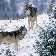 Gray Wolf, (Canis lupus) Rocky mountains. Montana. Winter. Captive Animal.