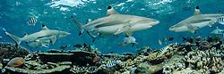Blacktip Reef Sharks, Carcharhinus melanopterus, patrol over shallow reef. Beqa Lagoon, Viti Levu, Fiji, Pacific Ocean