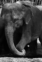 An Asian elephant seems to be scratching his foot with his trunk.
