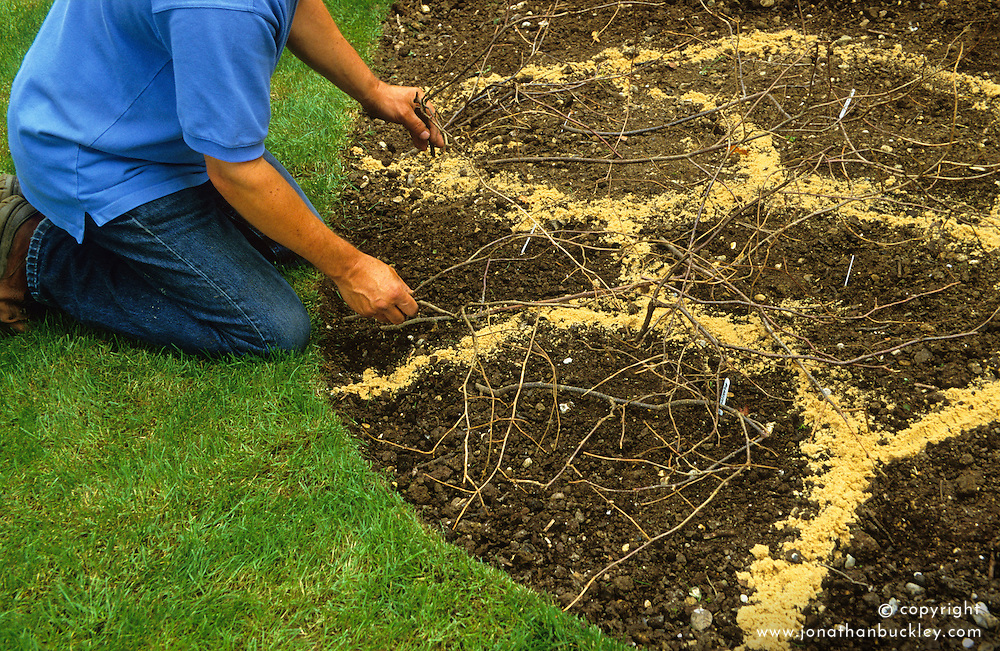 Making a border of annuals<br /> Covering with pea sticks to protect from digging cats