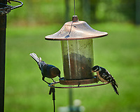 Brown-headed Cowbird and Downy Woodpecker. Image taken with a Nikon D850 camera and 200-500 mm f/5.6 VR lens