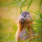 Groundhog in late summer, eating from garden in prepararion for the coming hibernation.  Groudhogs, also known as woodchucks, whistle pigs or marmots, are large rodents in the squirrel family.