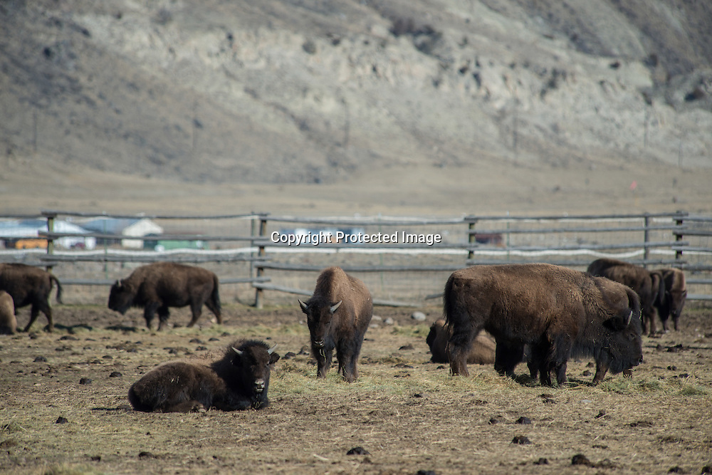 Wild bison in the Stevens Creek capture facility in Yellowstone National Park before being sent to slaughter. Yellowstone officials set a goal of removing 900 bison from the famous herd by either hunting outside the park or through capture and sending them to slaughter. There were 4,900 hundred bison in Yellowstone at the end of 2014. A political agreement with the state of Montana set a population goal of 3,000. The Yellowstone bison are allowed to wander out of the park for a few months in the winter where they can be hunted in a state hunt or by Native Americas with tribal hunting right. The can also be capture in the Stevens Creek facility and sent to slaughter. Meat from the slaughtered bison goes to Native America tribes in the region.
