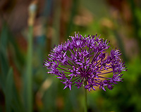 Allium. Image taken with a Leica TL-2 camera and 55-135 mm lens.