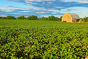 Potatoes and barn at sunset<br /> Peribonka<br /> Quebec<br /> Canada