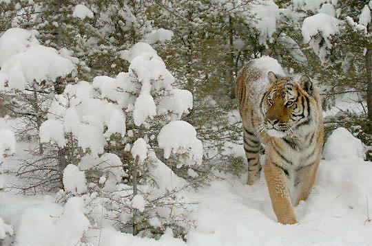 Bengal Tiger (Panthera tigris) Male in snow. Winter.  Captive Animal.