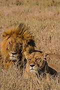 Male and female lions, Serengeti National Park Tanzania