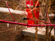 04 APRIL 2020 - DES MOINES, IOWA: Small icicles hang from a budding branch in Des Moines.         PHOTO BY JACK KURTZ