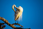 A great white egret (Ardea alba) sitting in the sunshine on a branch and fluffing its plumage , Okavango Delta, Moremi, Botswana