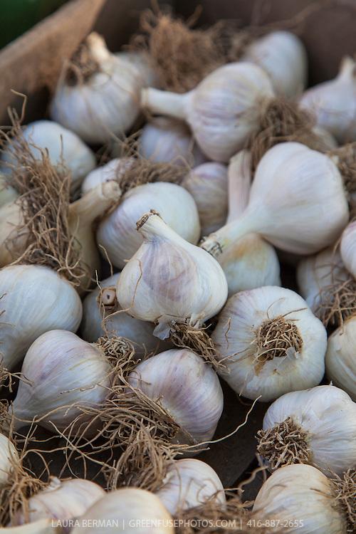 Purple hardneck garlic.