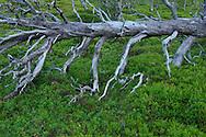 Old-growth forest, Saltoluokta area, bordering to the Stora Sjöfallet National Park, Greater Laponia rewilding area, Lapland, Norrbotten, Sweden