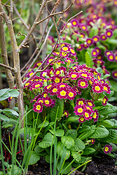Polyanthus 'Stella Lilac' syn. 'Victoriana Lilac Lace' growing at the base of broad beans