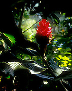 Torch ginger, Flower, Hawaii