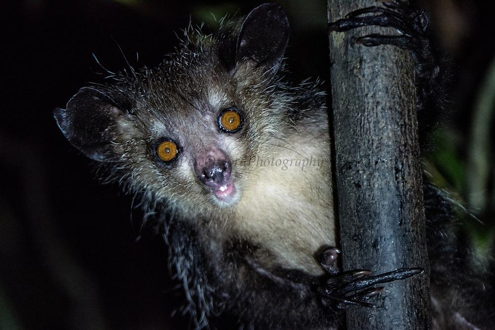 Aye-aye (Daubentonia madagascariensis)<br /> East Madagascar<br /> Palmarium<br /> MADAGASCAR<br /> ENDEMIC<br /> Endangered