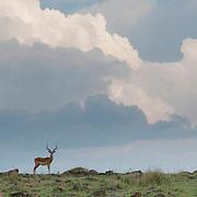 Impala (Aepyceros melampus) male on the Serengeti Plains. Masai Mara National Reserve, Kenya, Africa