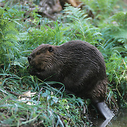 Beaver (Castor canadensis) feeding at the banks of a pond in southern Manitoba, Canada.