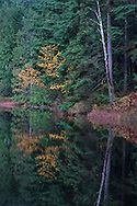Fall leaf foliage consisting of mostly Vine Maples (Acer circinatum) on Mill Pond in Mission, British Columbia, Canada.