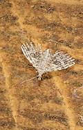 Twenty-plume Moth - Alucita hexadactyla