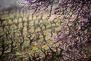 Winter,vineyards and flowering trees