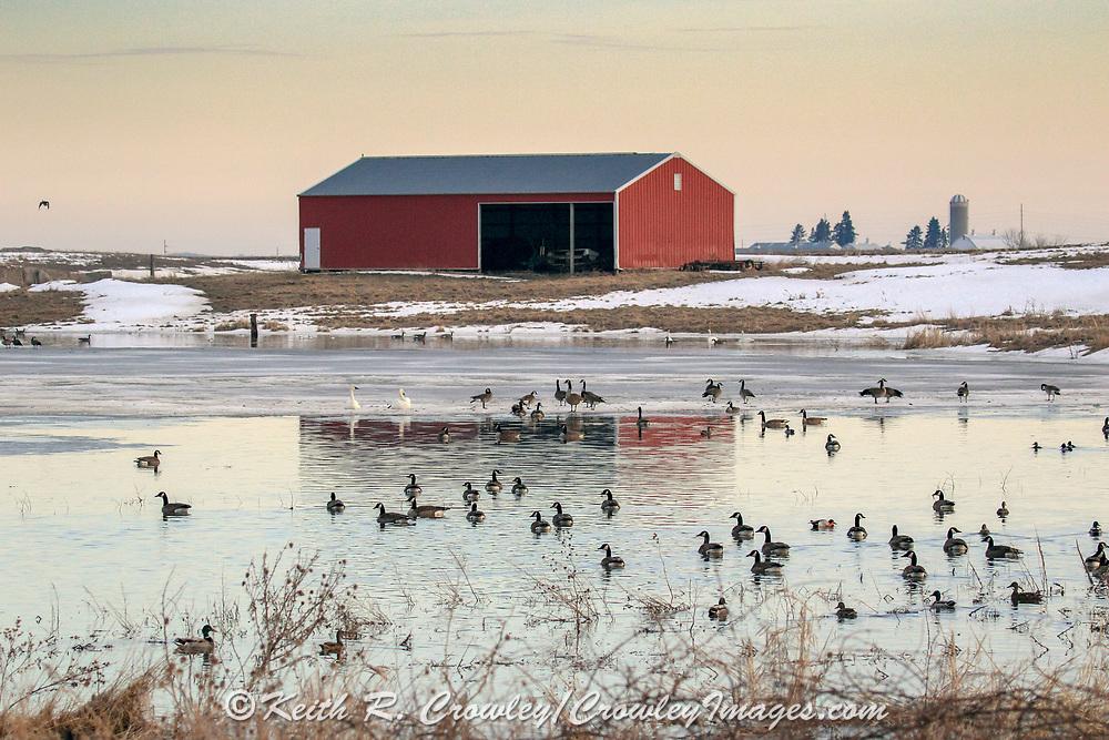 Waterfowl swim on a semi-frozen farm pond.