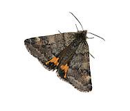 Light Orange Underwing - Archiearis notha