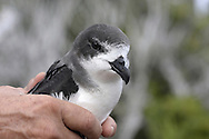 Bermuda Petrel - Pterodroma cahow being handled by Jeremy Madeiros