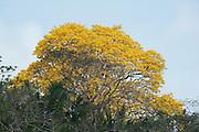 Guayacan Gold Tree, Tabebuia guayacan, Panama, Central America, Gamboa Reserve, Parque Nacional Soberania, flowering above treetops