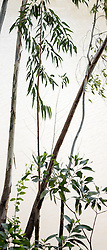 Eucalyptus camaldulensis #18