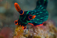 The red on this Nembrotha kubaryana signal danger to any passing animla that thinks that it might be a good meal!